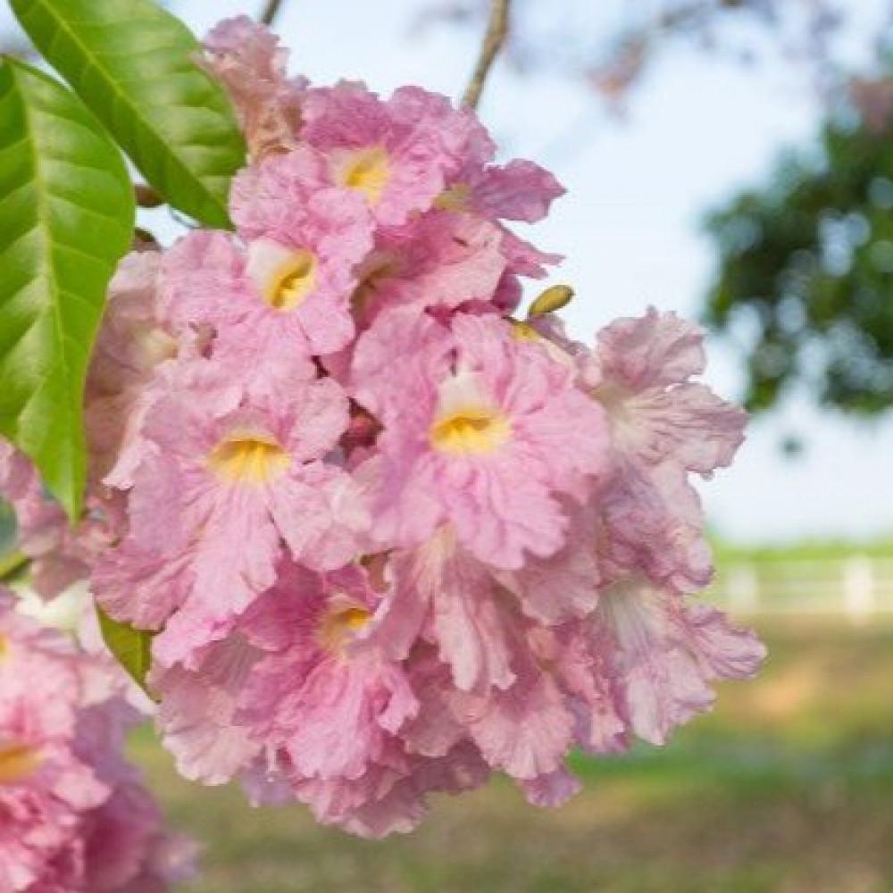 زهرة التابوبيا الوردية