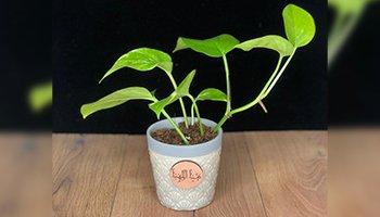 نباتات وأوعية نباتات