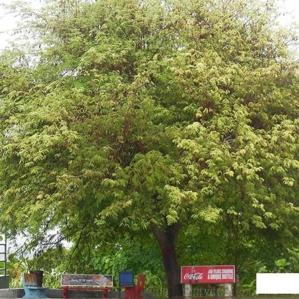 شجرة التمر الهندي