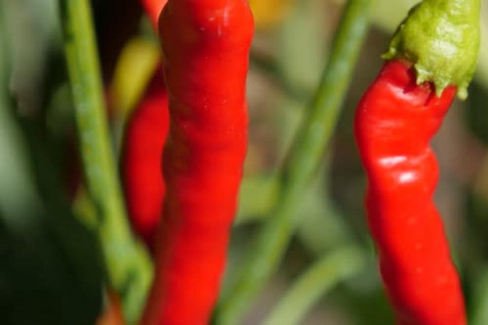بذور فلفل احمر حار
