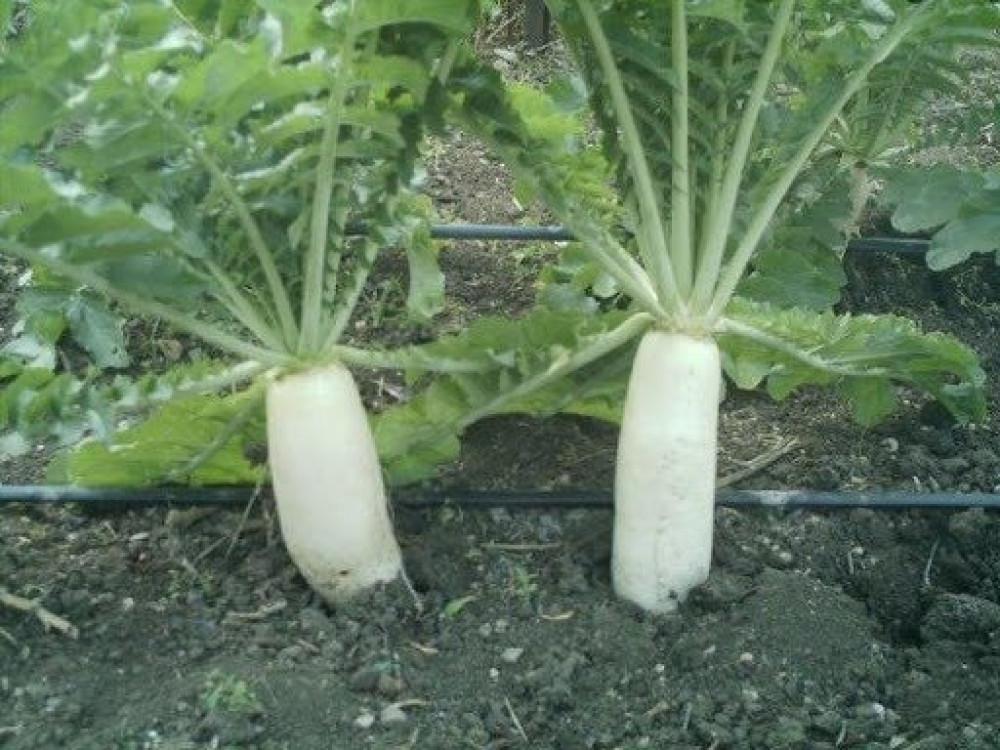 نبات الفجل الابيض