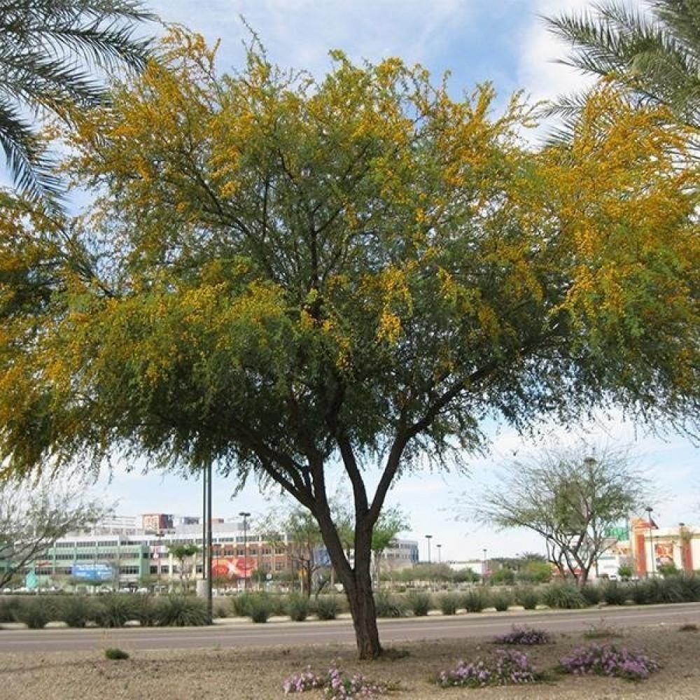شجرة طلح الفتنح