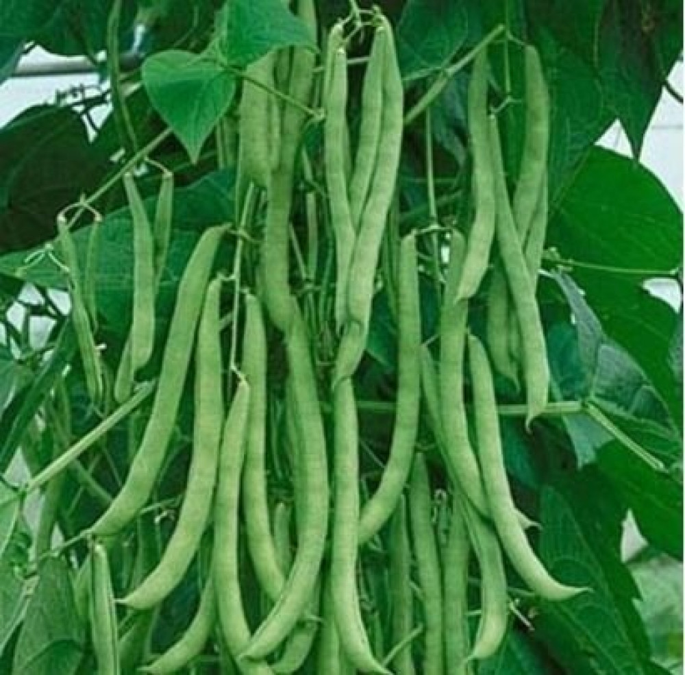 بذور فاصوليا خضراء - Phaseolus vulgaris