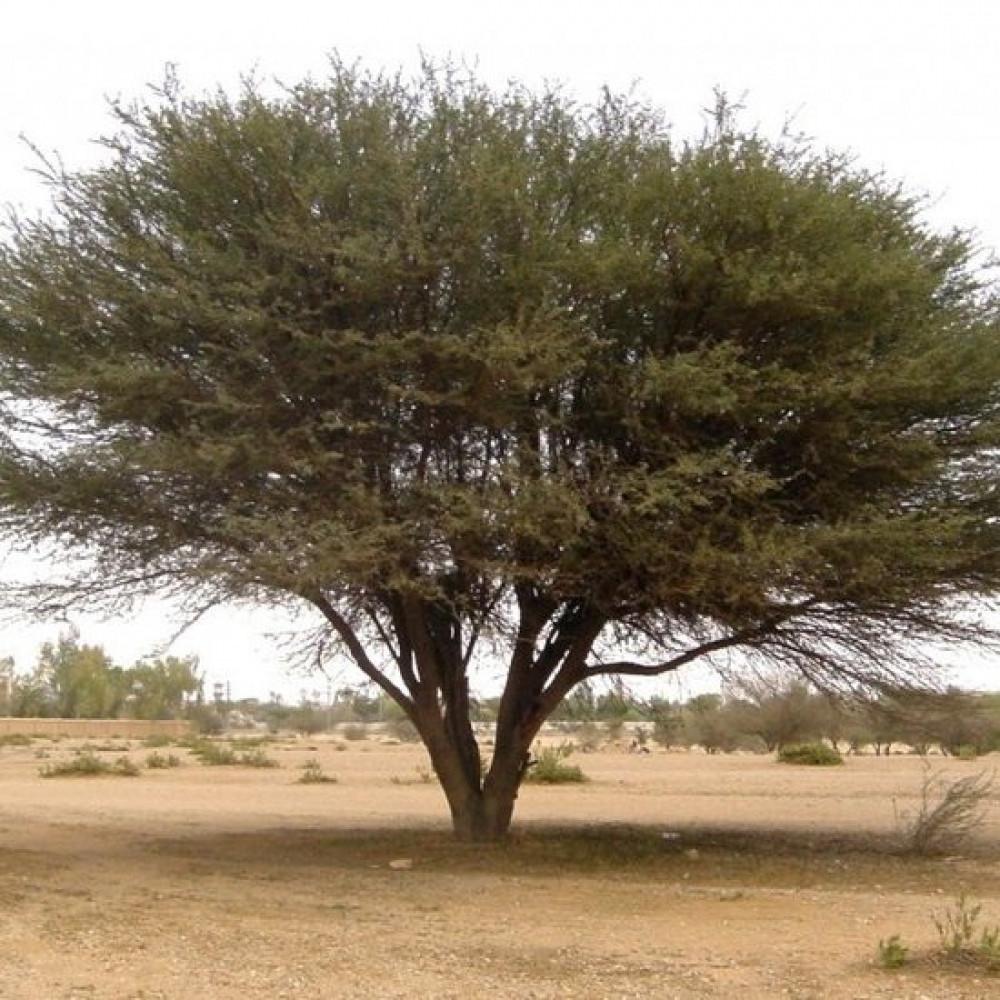 شجرة السلام