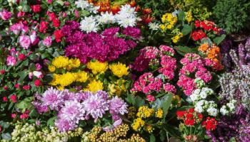 بذور زهور ورد