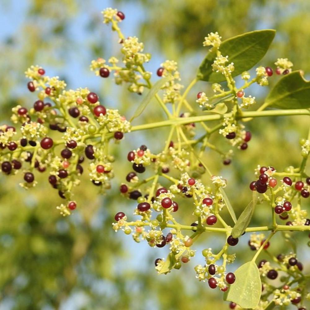 ثمار وازهار الأرآك
