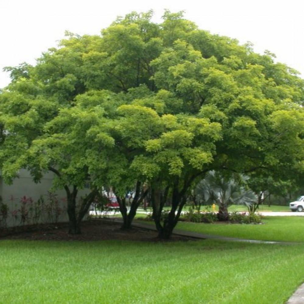شجرة البونجاميا