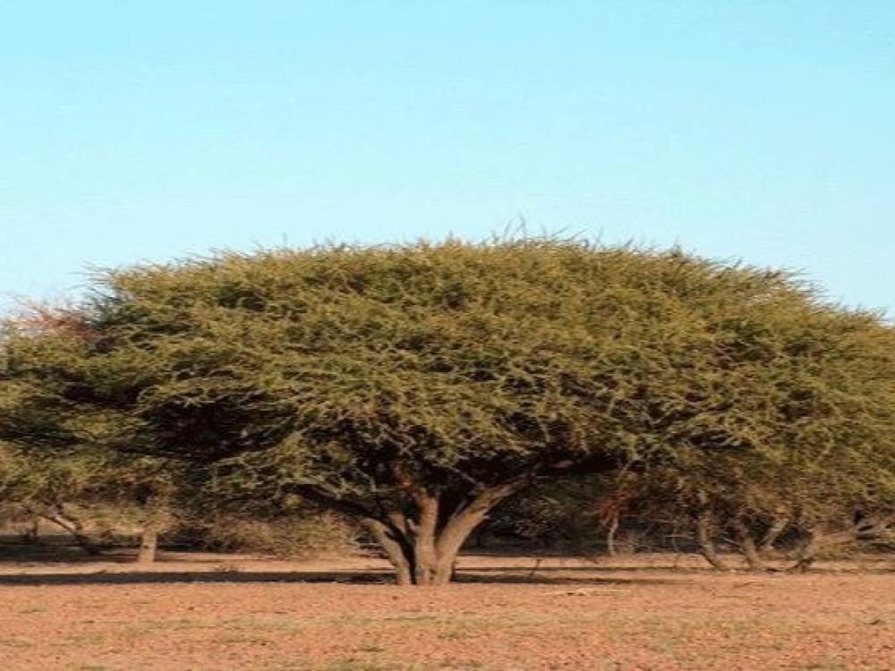 شجرة سمر