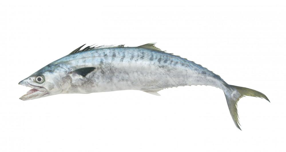 سمك كنعد طازج king fish