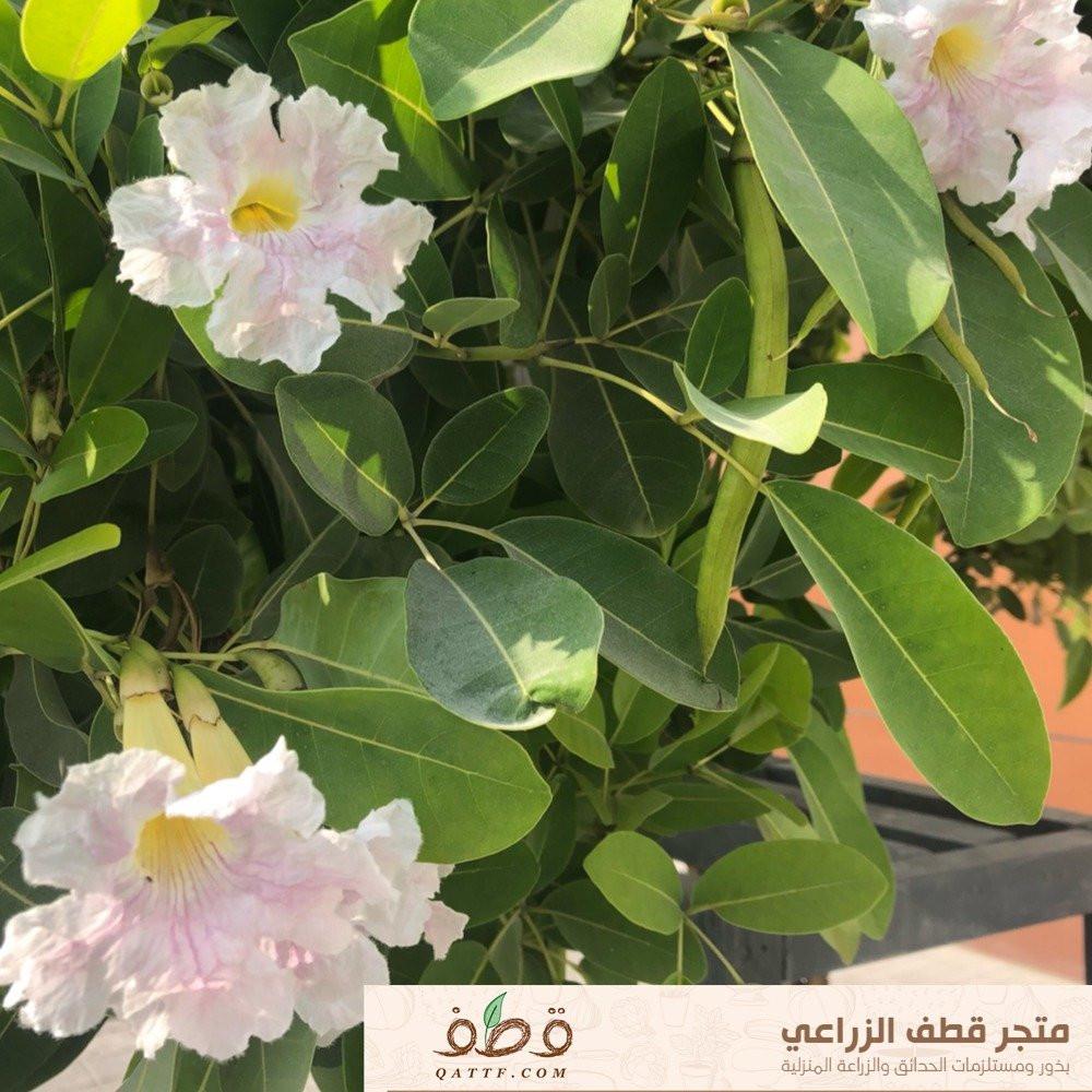 بذور تابوبيا روزا - Tabebuia rosea