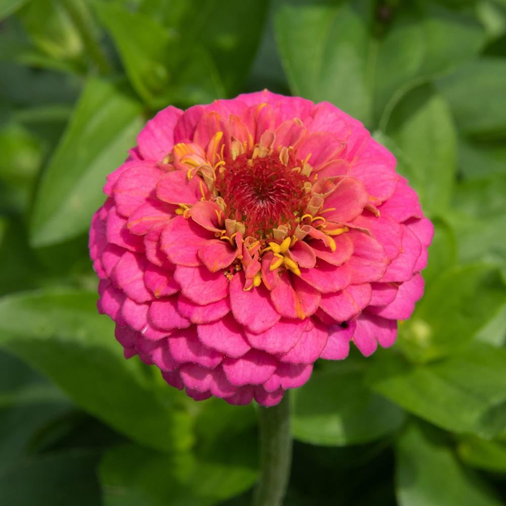 زهرة الزينيا