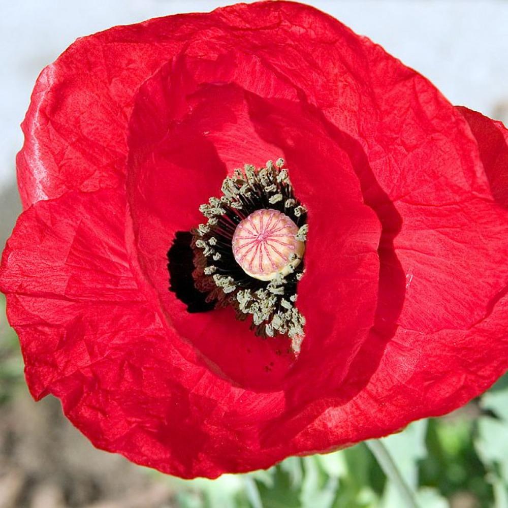 زهرة الديدحان الأحمر