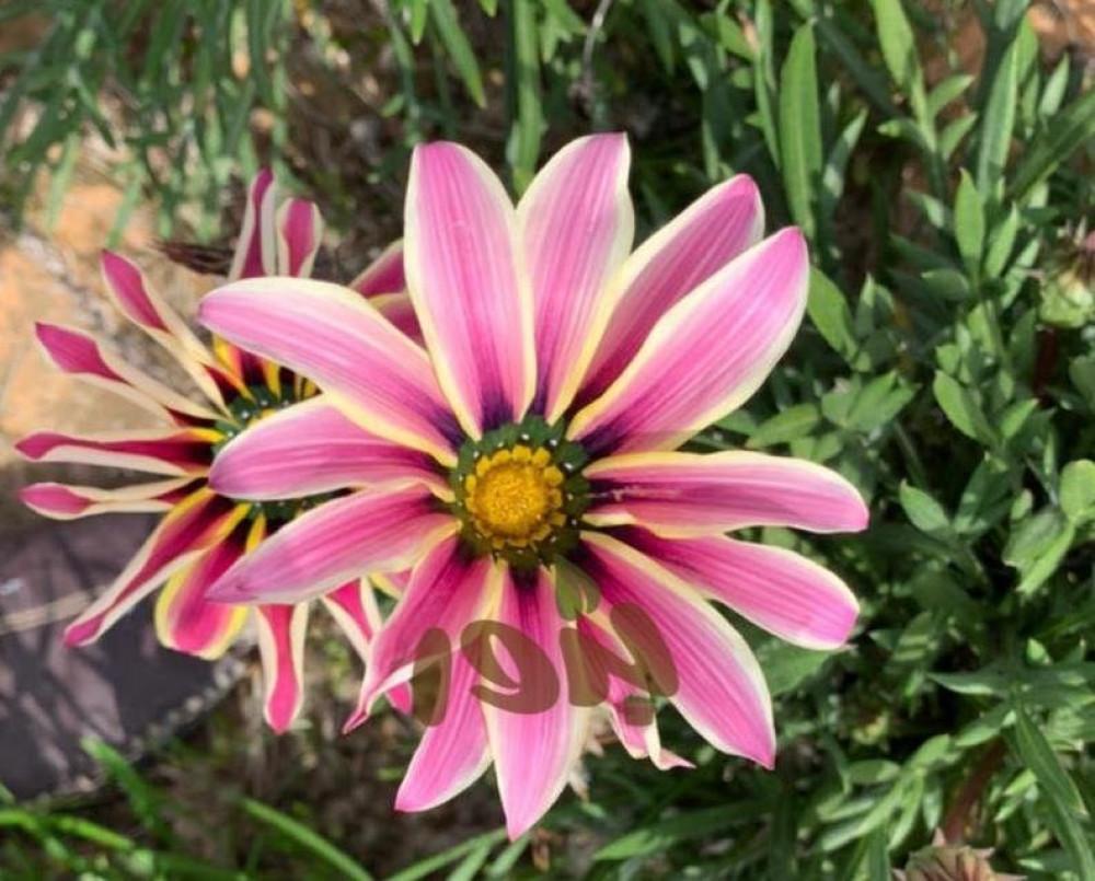 بذور زهور الغازانيا