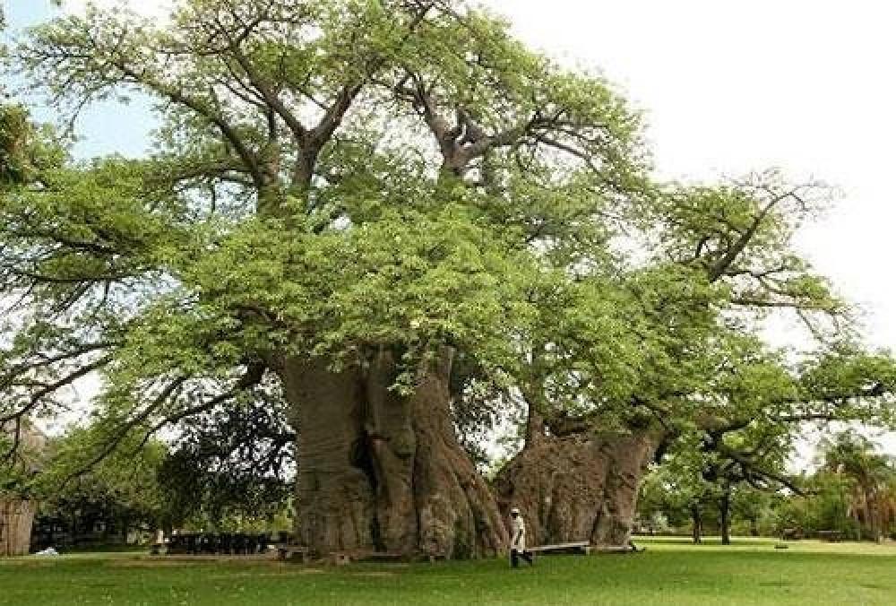 بذور شجرة التبلدي  Adansonia
