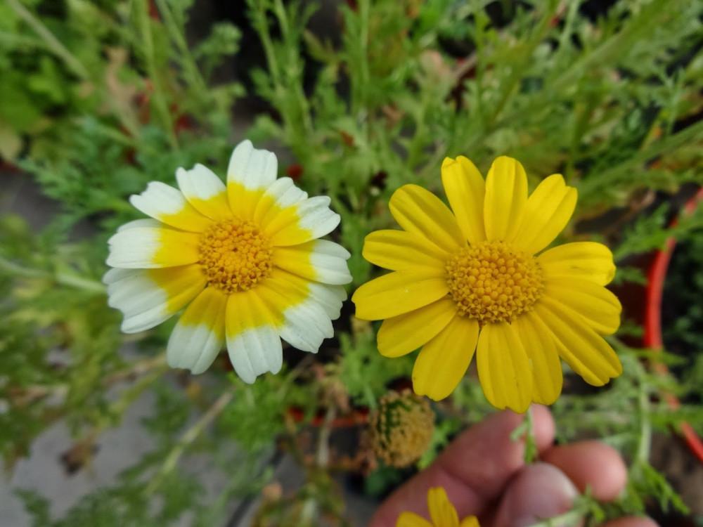 بذور زهرة الاقحوان التاجي