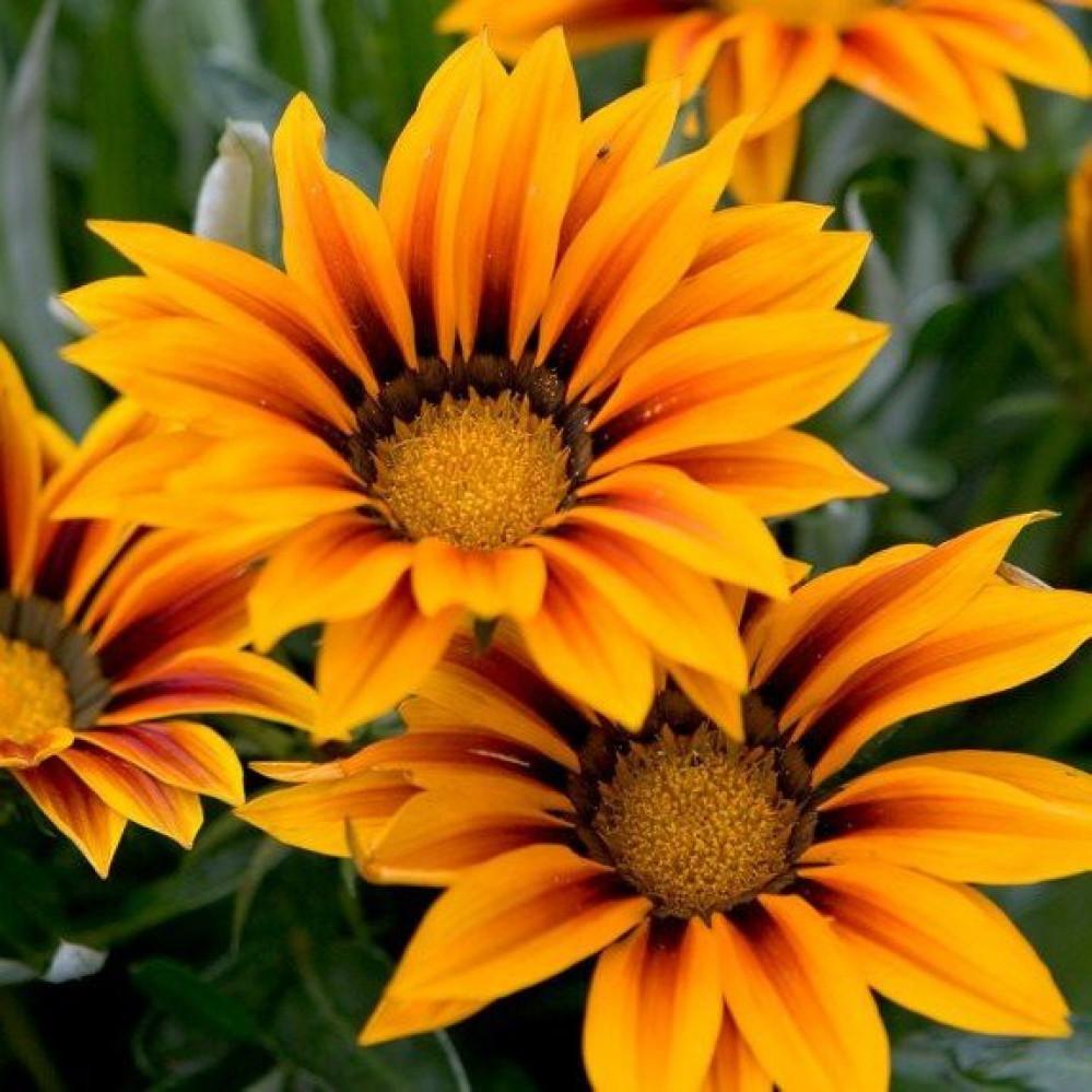 زهرة جازانيا