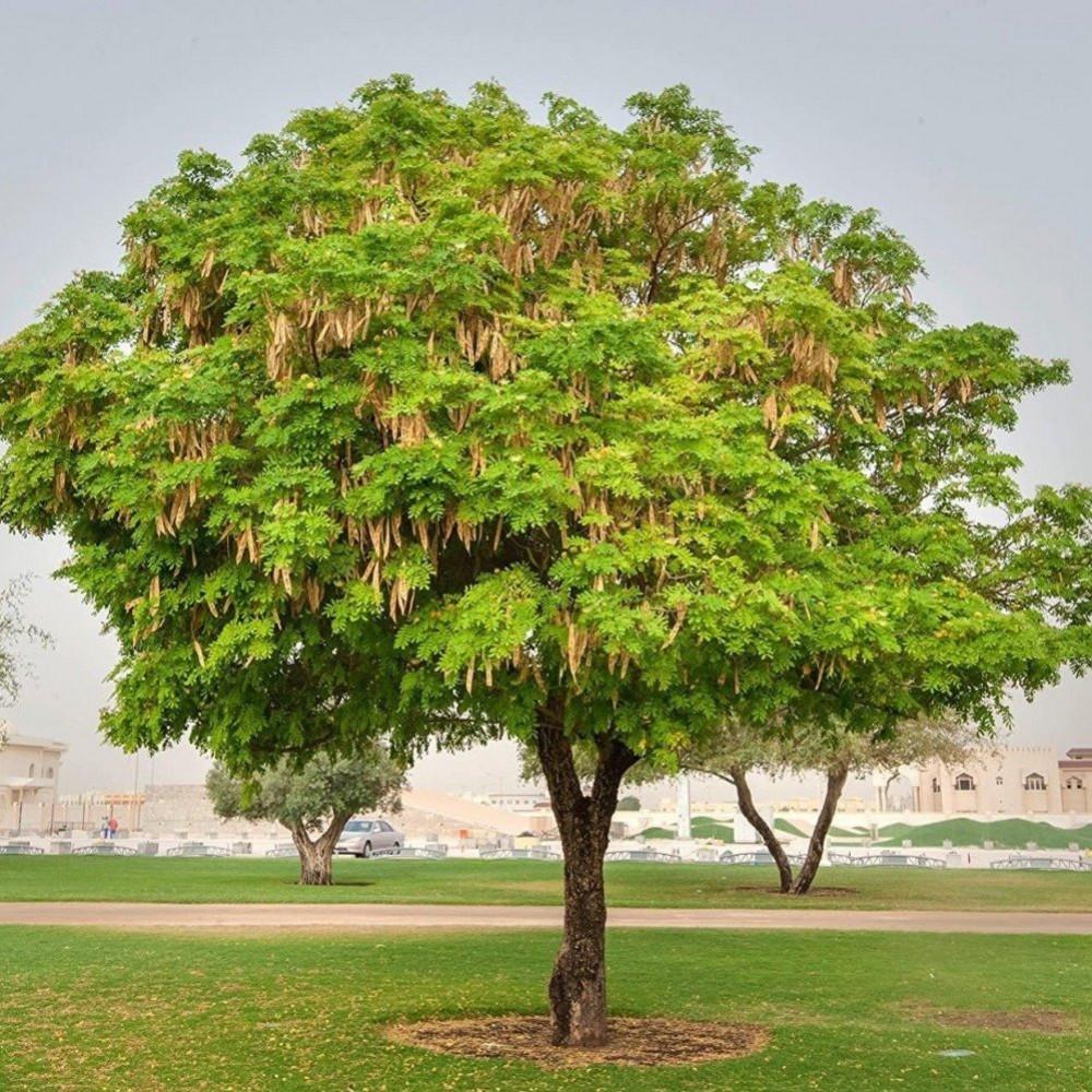 بذور شجرة اللبخ-متجر بذور الزراعي