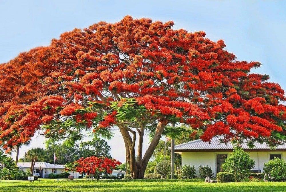 بذور شجرة البونسيانا الحمراء