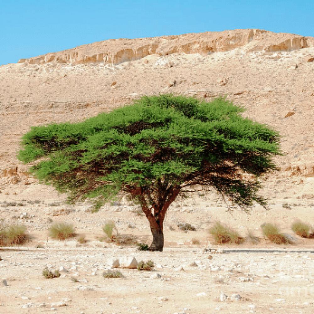 شجرة الطلح النجدي
