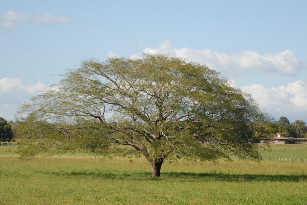 شجرة انترلوبيوم