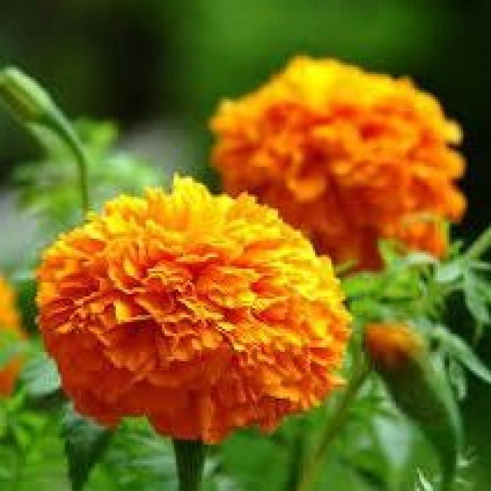 زهور قطيفة