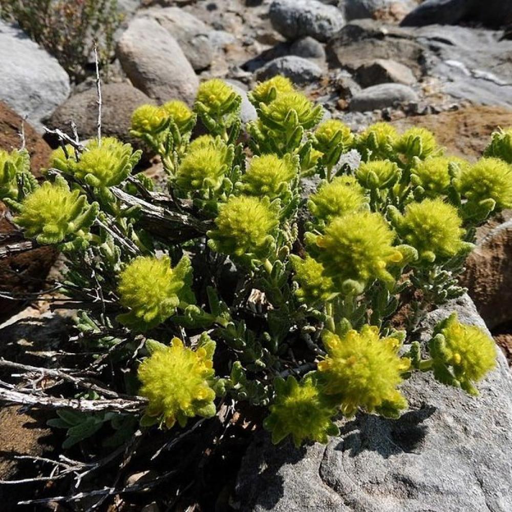 زهور الجعد