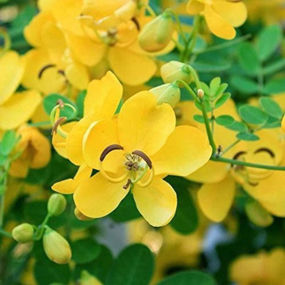 زهور كاسيا فيستولا