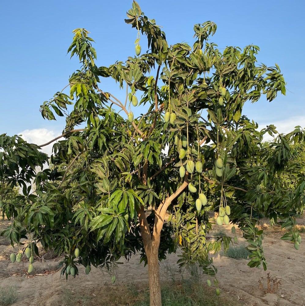 شجرة مانجو جازان زبدة هندي