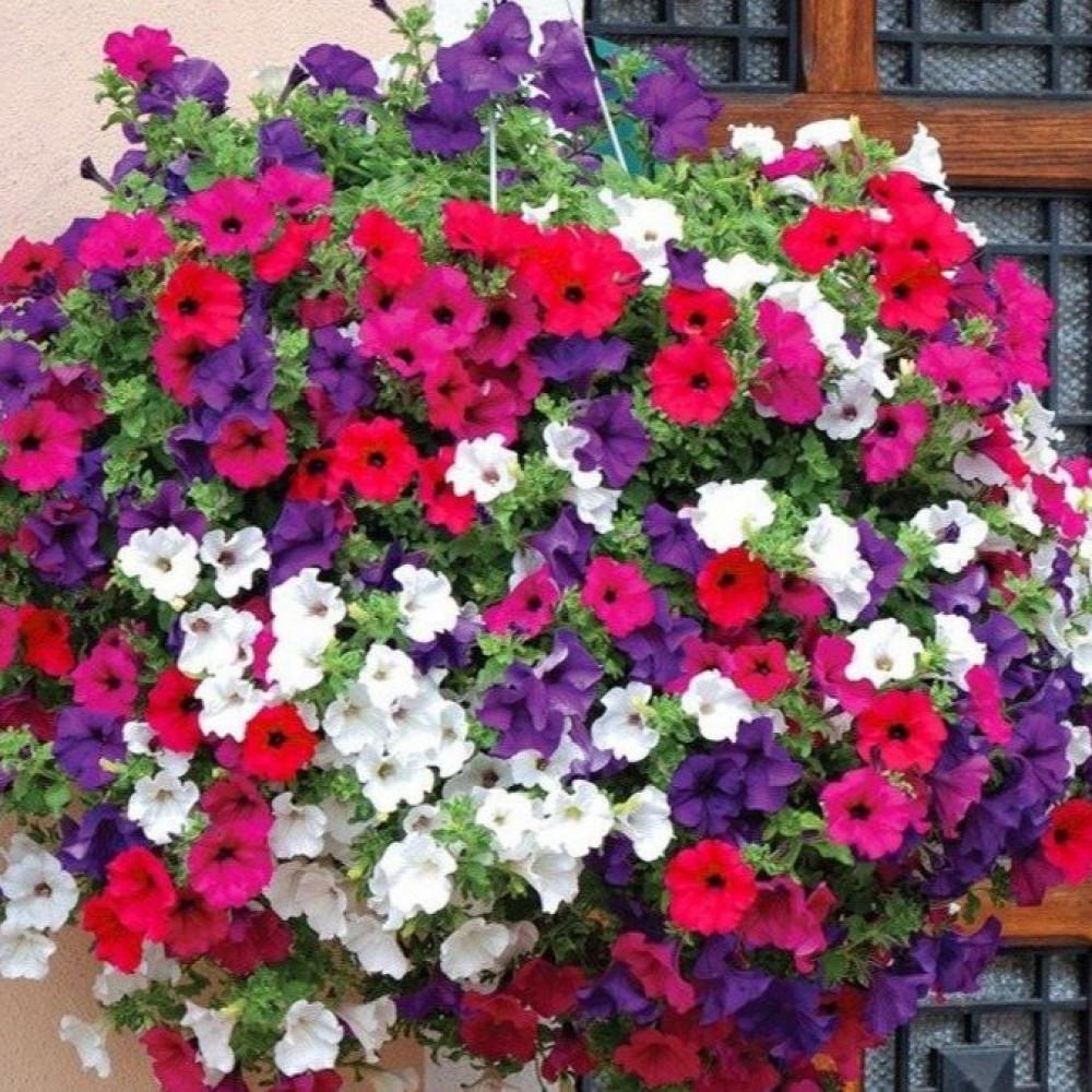 زهور البيتونيا