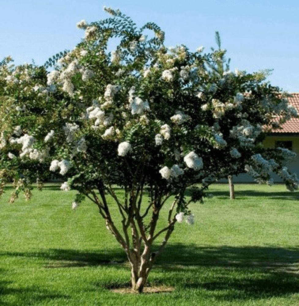 شجرة لاجستروميا ابيض