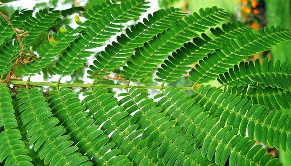 اوراق شجرة انترلوبيوم