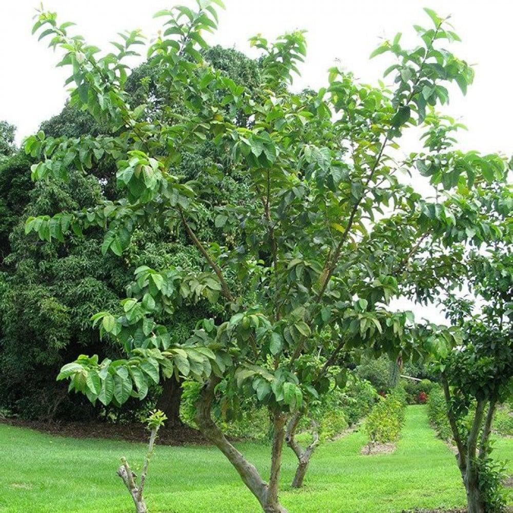 بذور شجرة الجوافة الحمراء-متجر بذور الزراعي
