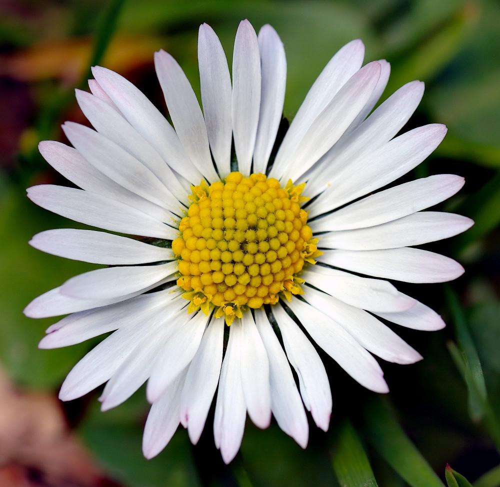 زهرة البكرت