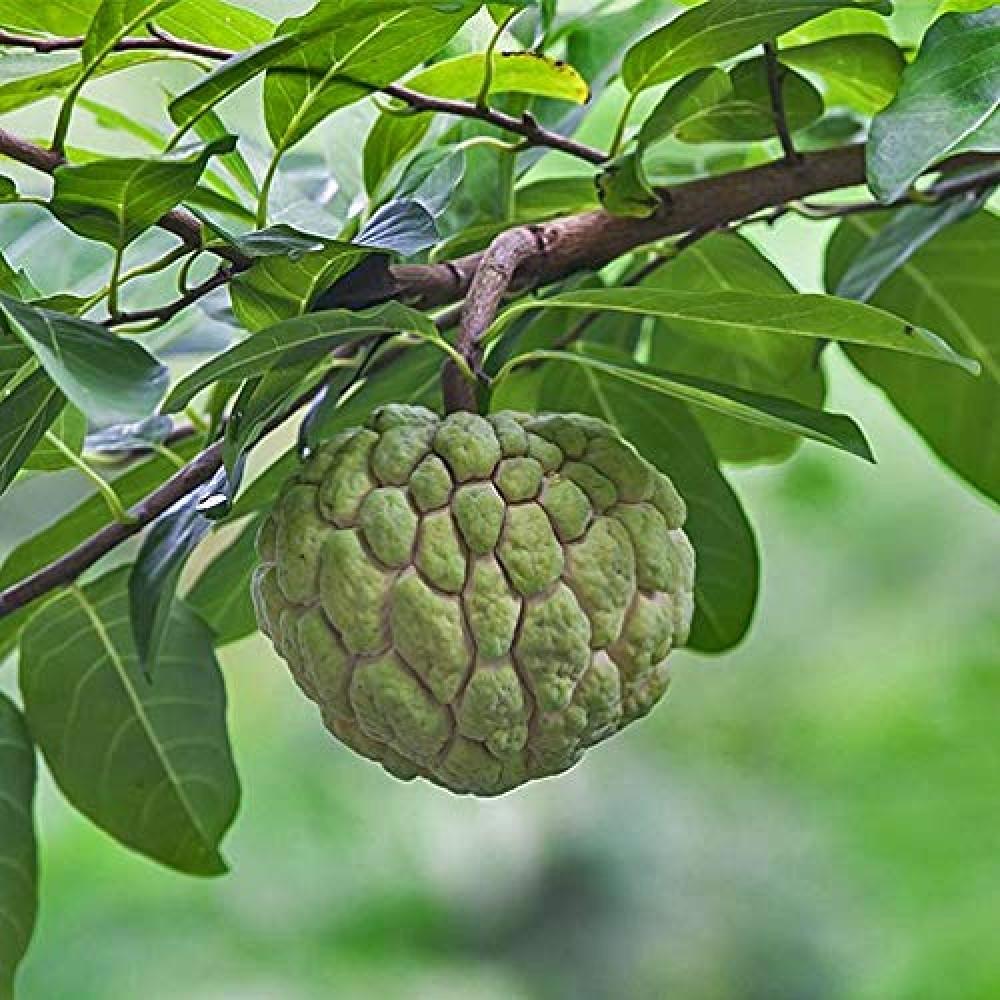 ثمار فاكهة القشطة