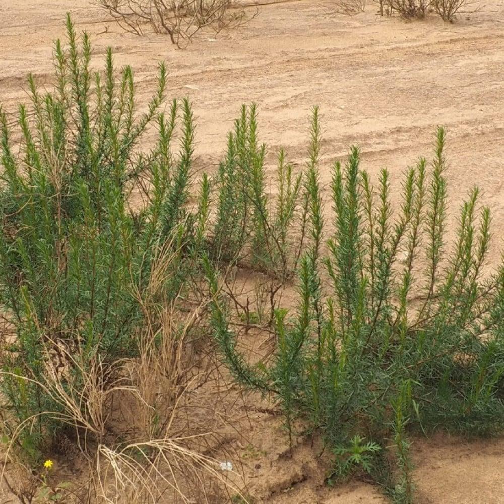 بذور العاذر-متجر بذور الزراعي