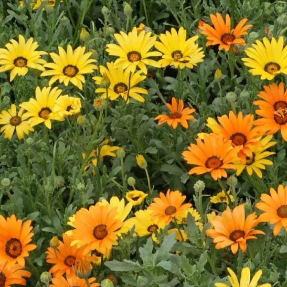 بذور زهرة ديمورفتيكا- متجر بذور الزراعي
