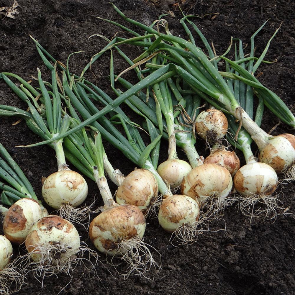 بذور البصل الأبيض- متجر بذور الزراعي