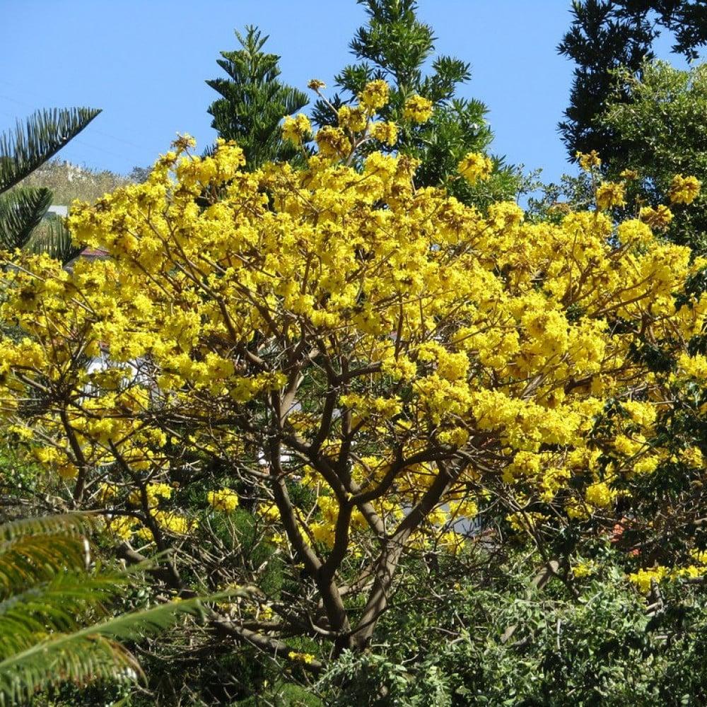 تابوبيا صفراء