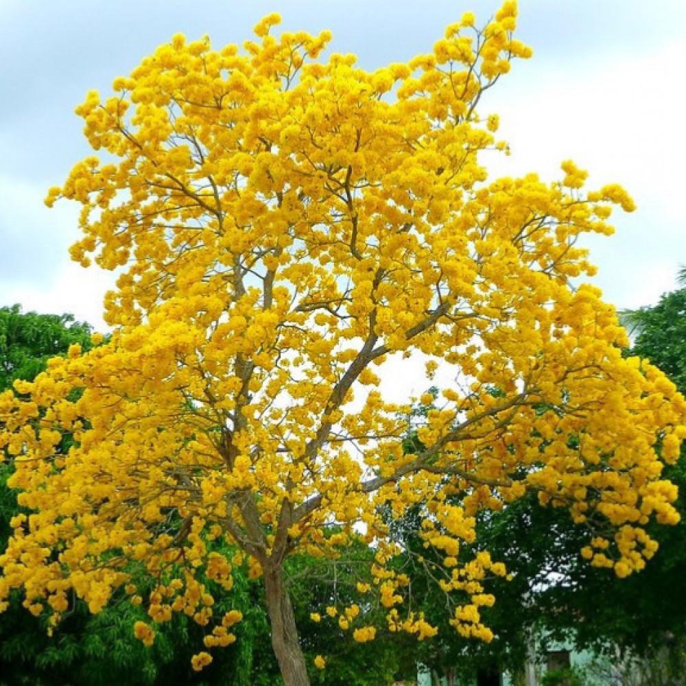 شجرة التابوبيا الذهبية