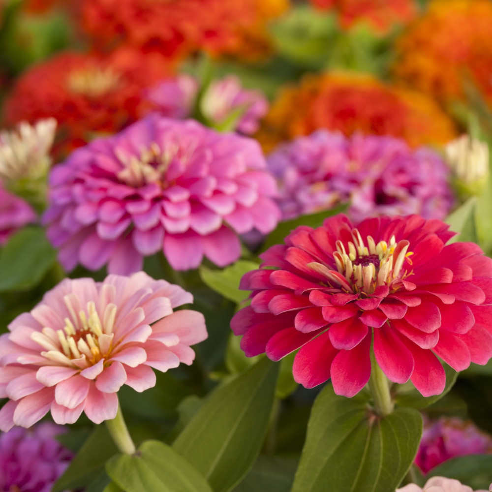 زهور الزينيا