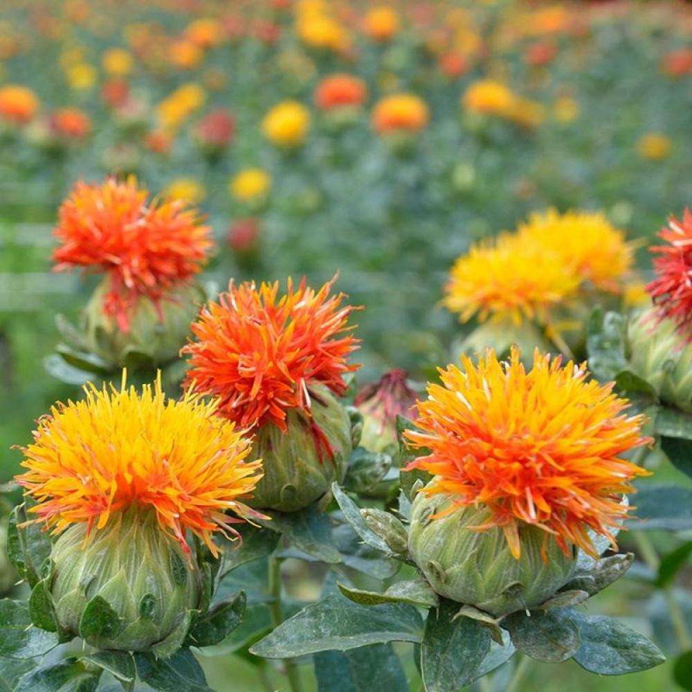 بذور العصفر-متجر بذور الزراعي