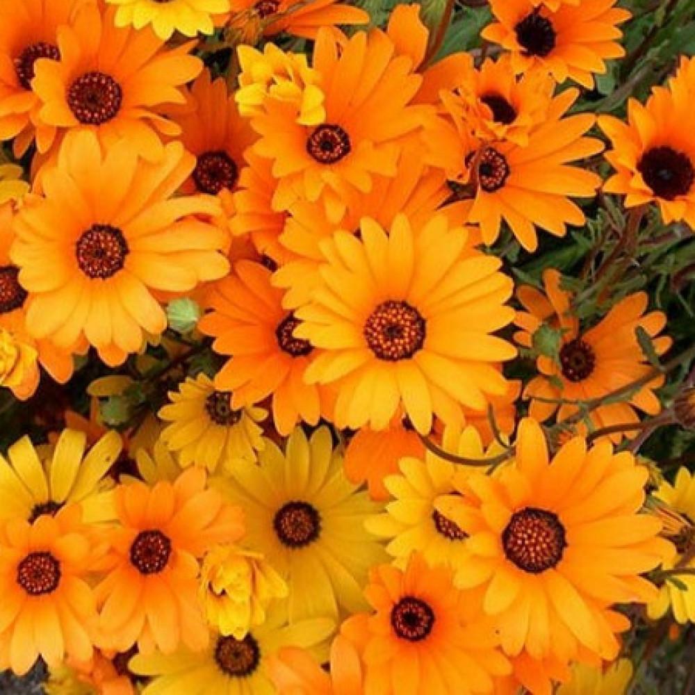زهور ديمورفتيكا -متجر بذور الزراعي