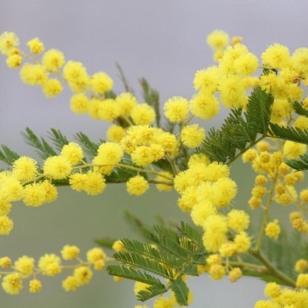 زهور شجرة اللبخ-متجر بذور الزراعي