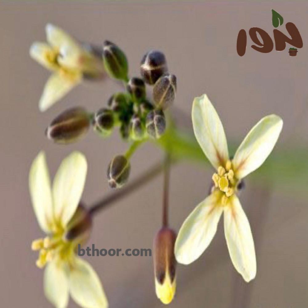 زهور الحرشاء