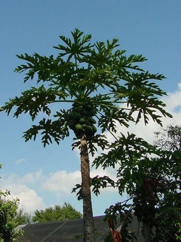 شجرة البابايا