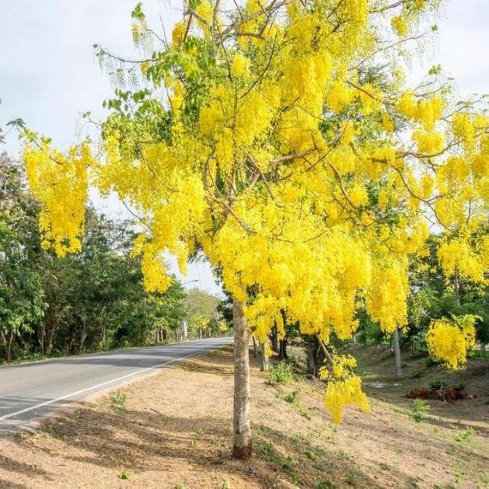 شجرة كاسيا فيستولا