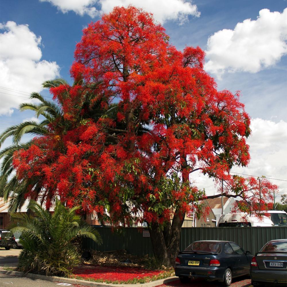 شجرة استركوليا لوريدا