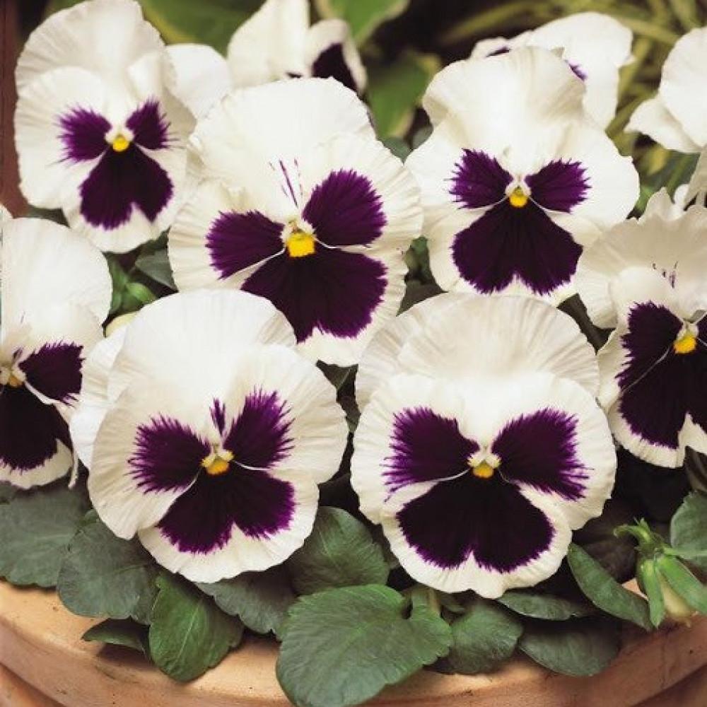 بذور زهور بنفسج الثالوث ابيض-متجر بذور الزراعي