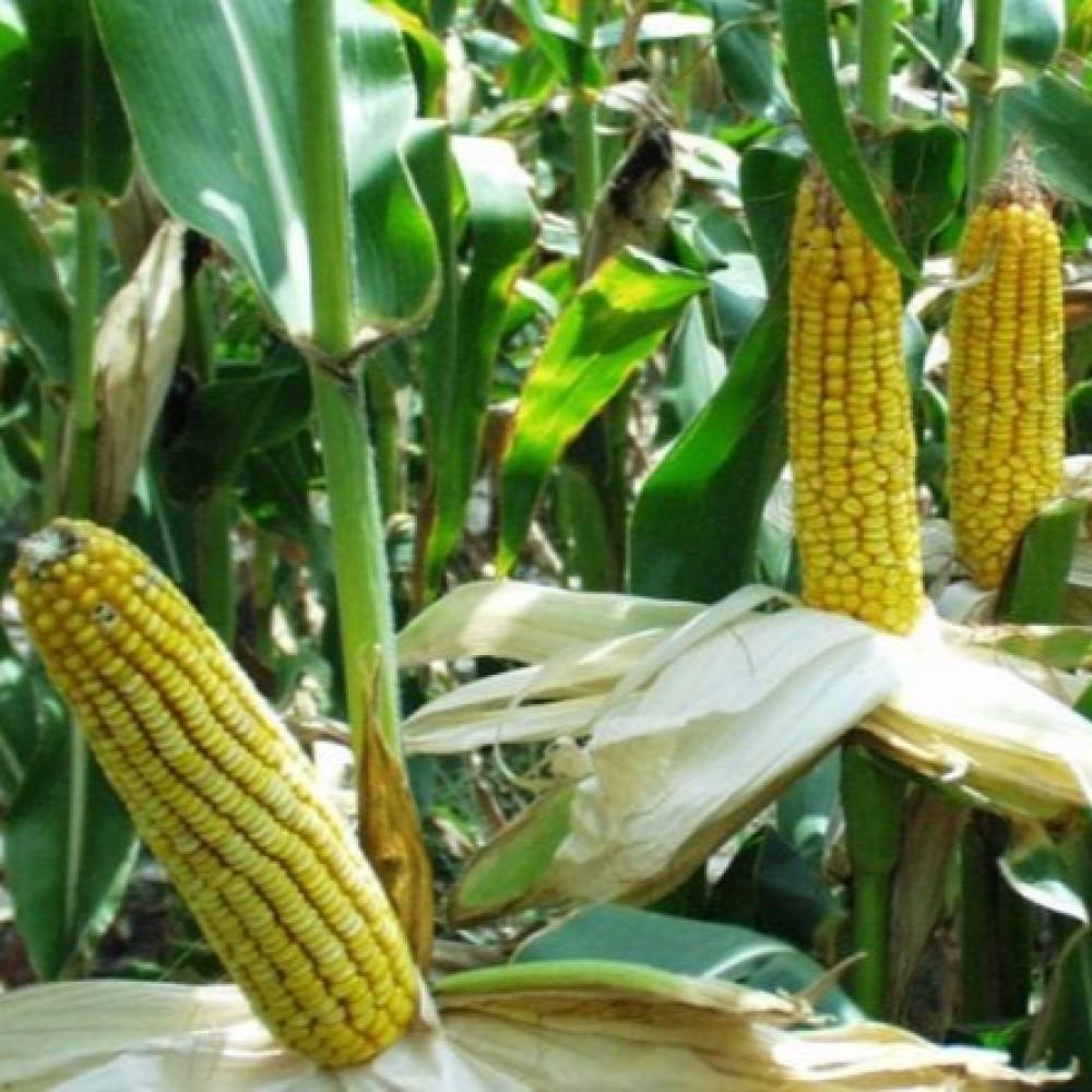 بذور ذرة شامية صفراء-متجر بذور الزراعي