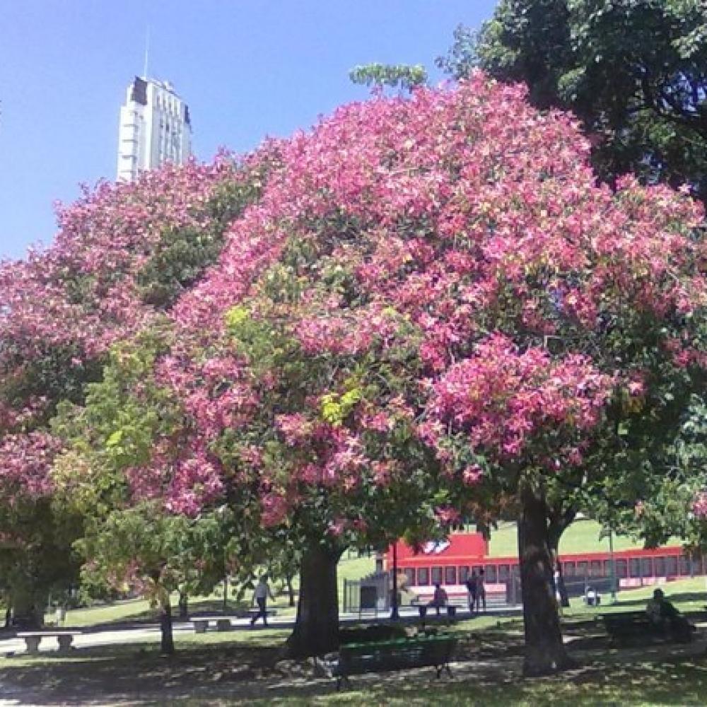 بذور شجرة الكوريزيا-متجر بذور الزراعي